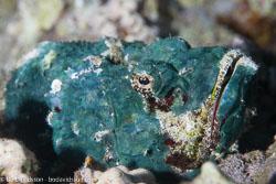 BD-121128-Aqaba-7540-Scorpaenopsis-diabolus-(Cuvier.-1829)-[False-stonefish].jpg